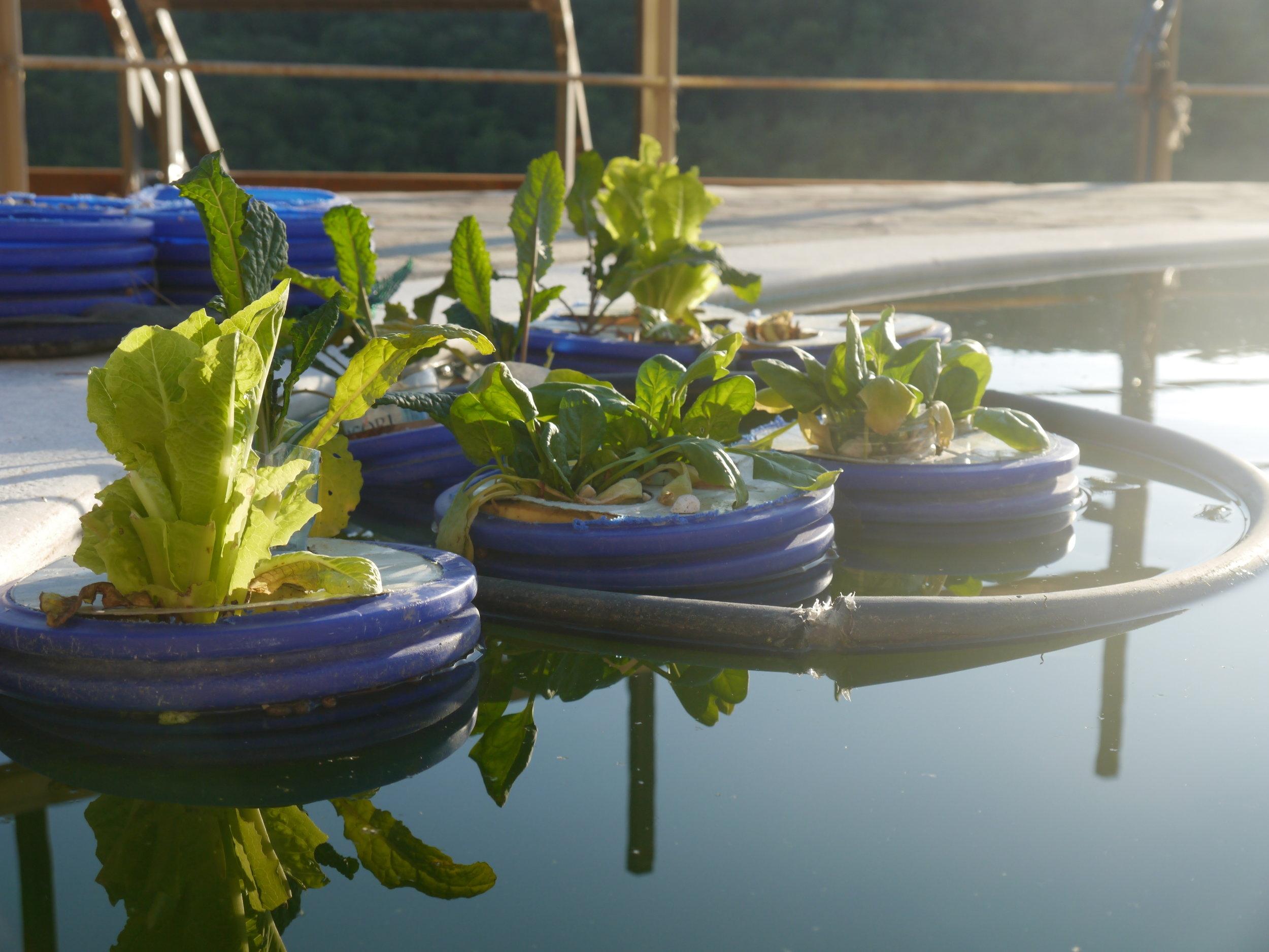 Aquaponic floaters