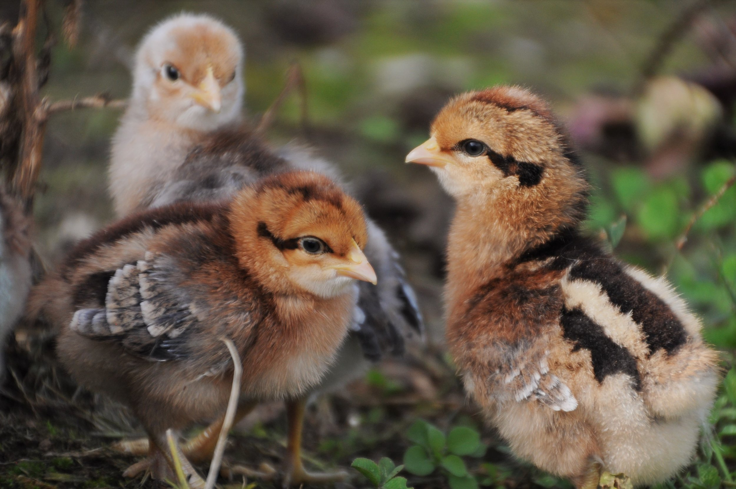 Bielefelder chicks.  The females in front, male in back