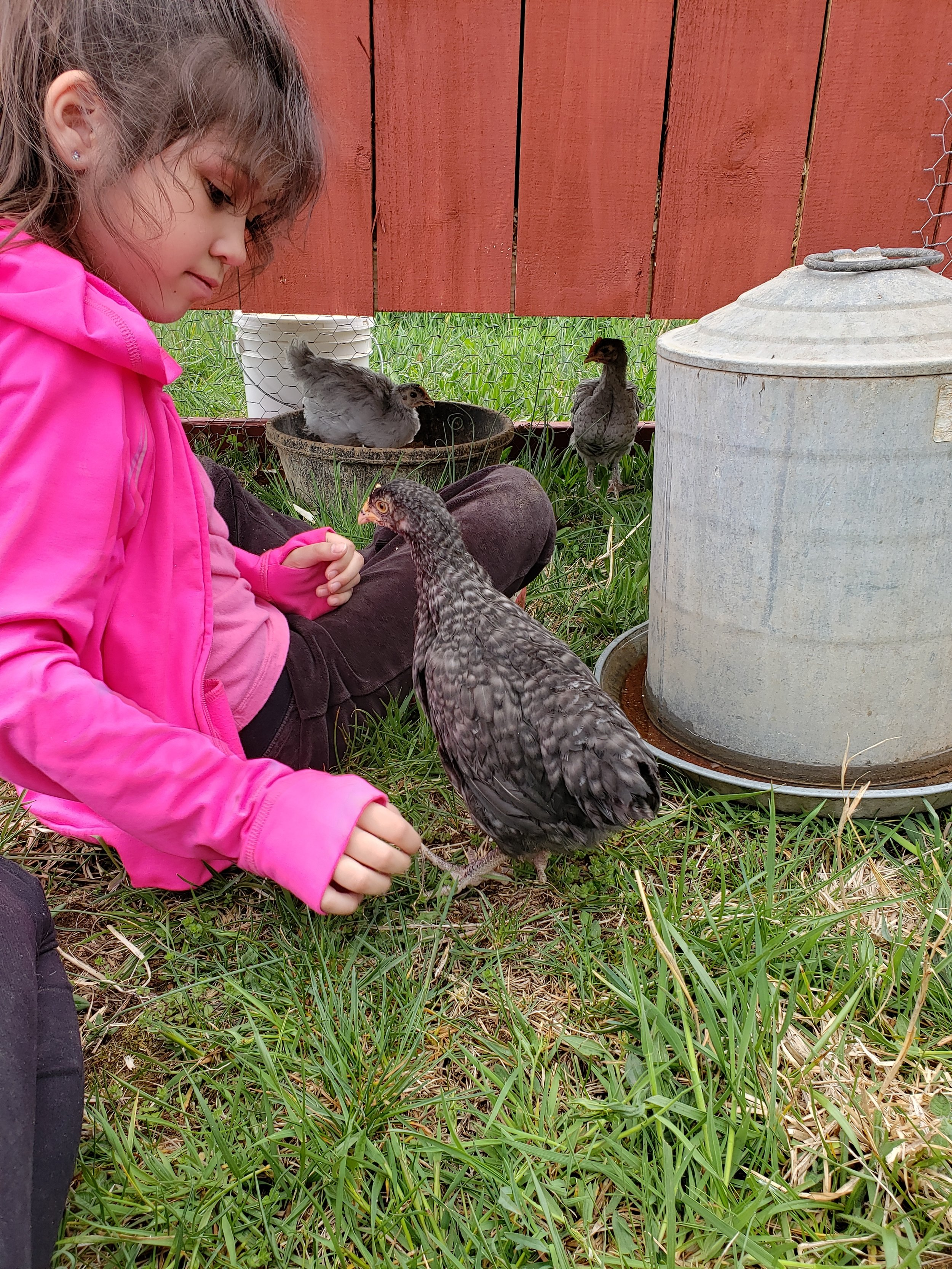 Lydia sits in the pen for the first hour and I introduces her chicks to the great outdoors.