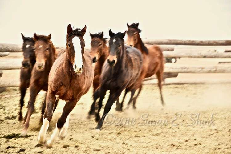 Untouched yearlings race around their pen prior to the Brent Graef halter starting class.