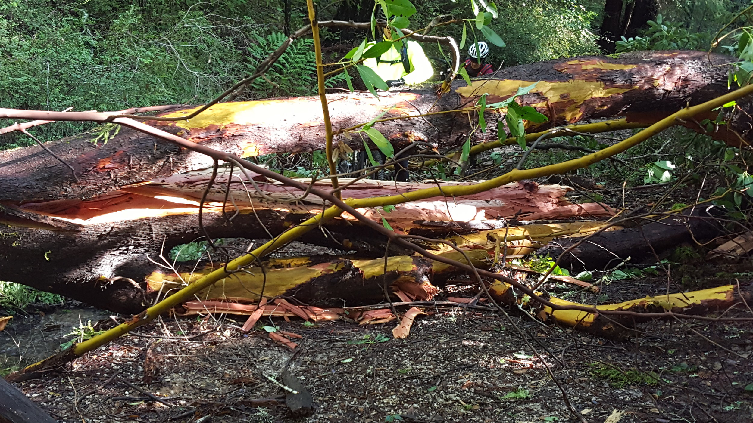 Madrone down on Gazos Creek Fire Road