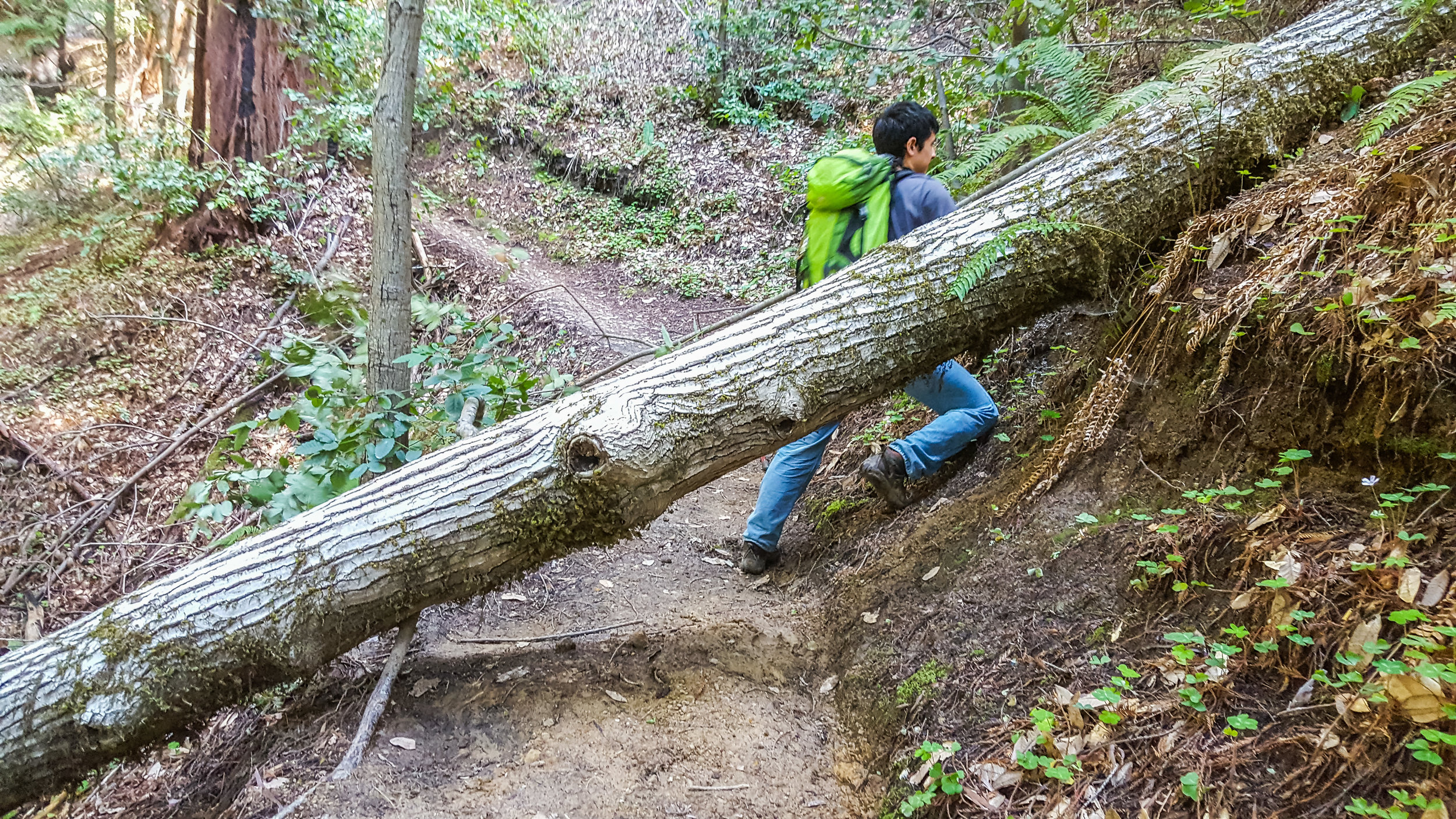 While the rest of the group finished the downhill portion of the site, Michael and I went a little further down the trail to clear out a small Tan Oak I remember from Kurt's report last month.