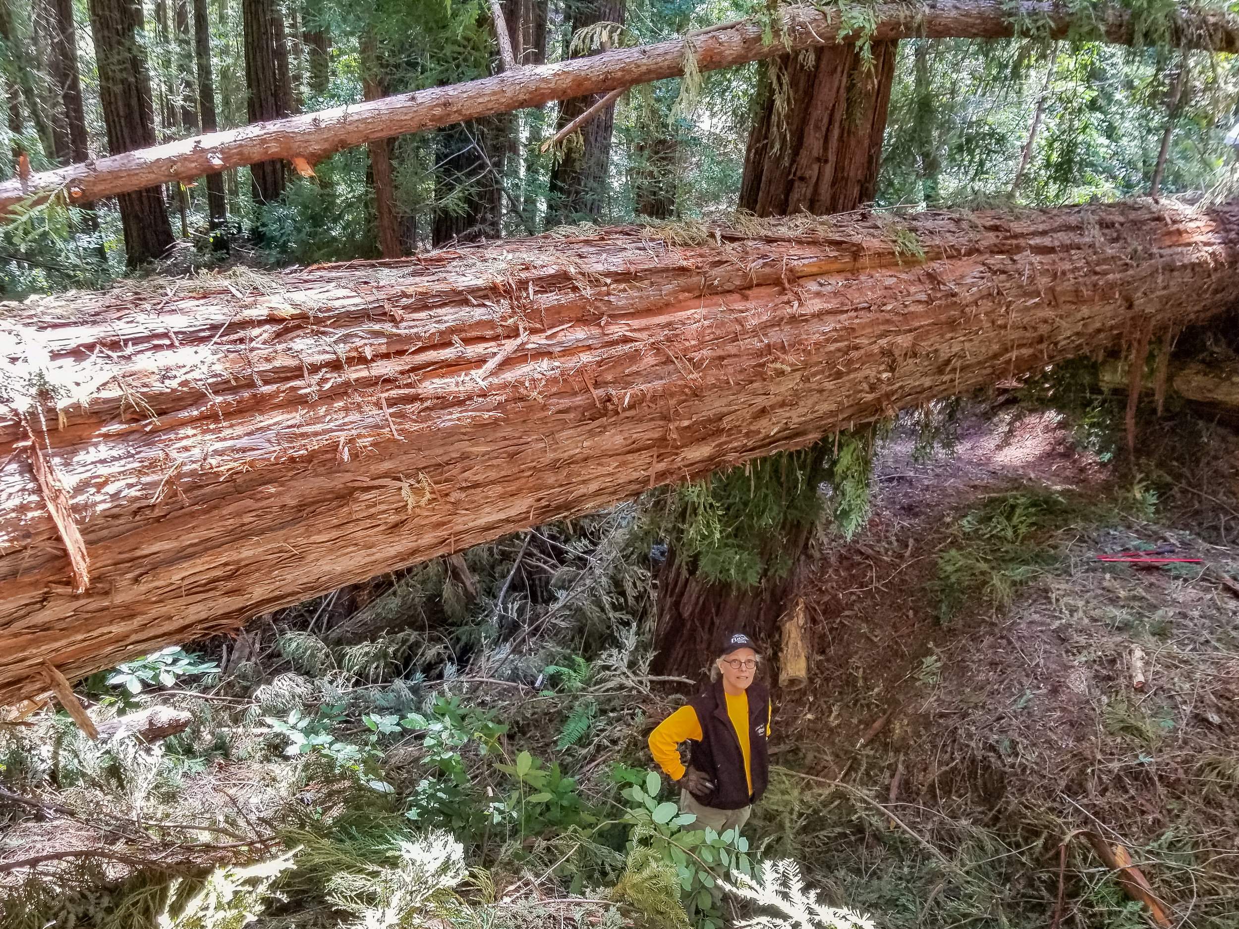 """40"""" Redwood the largest of 5 trees down near Waterman Gap"""