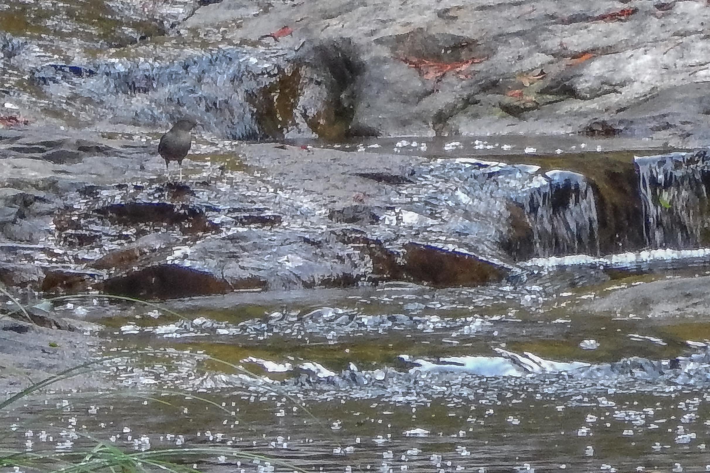 American Dipper on East Waddell Creek along Last Chance Trail.