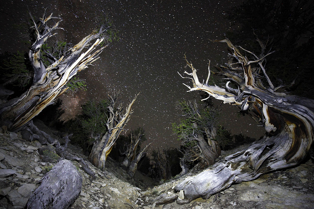 Bristlecone Pines at night