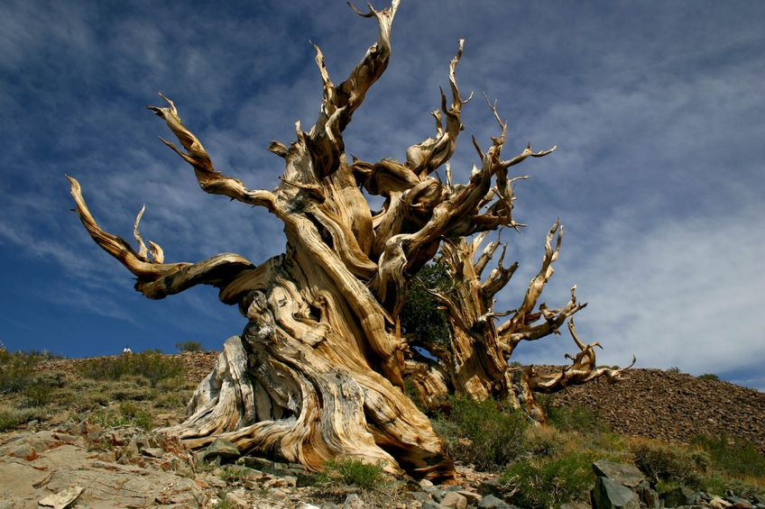 Bristlecone Pines thrive in harsh conditions