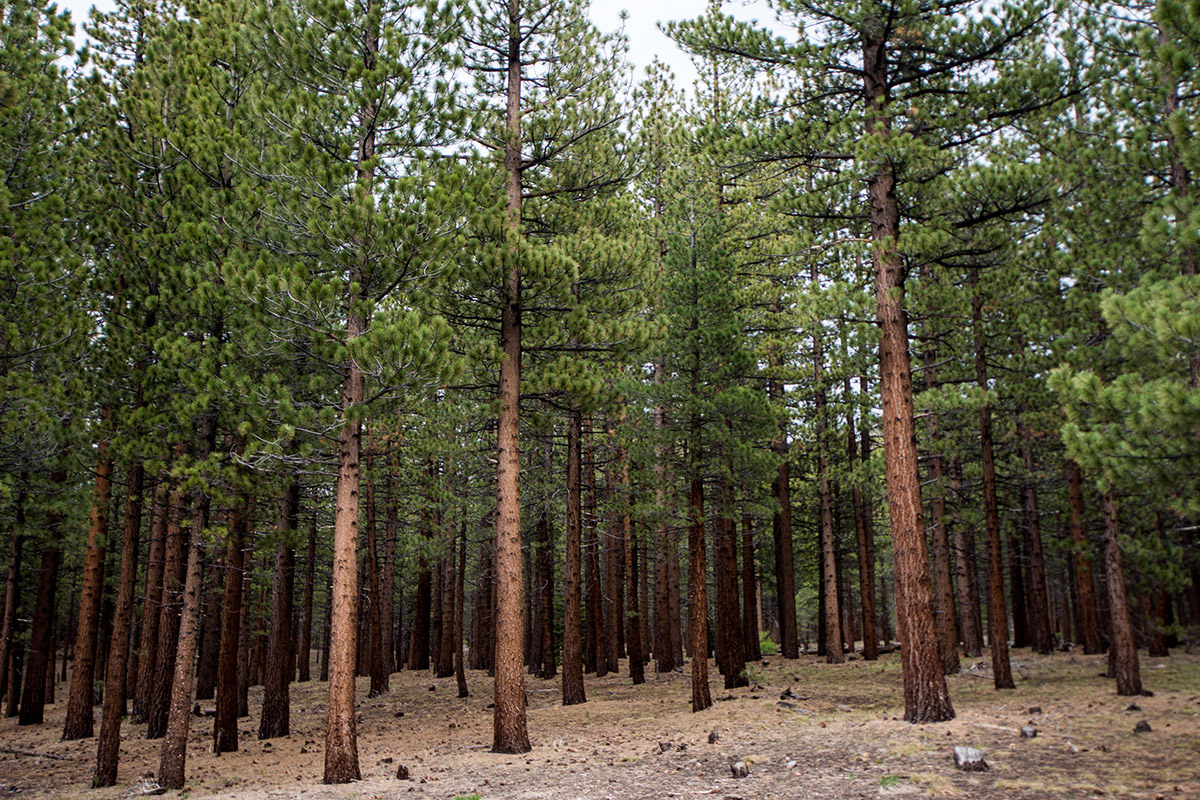 The Mammoth Scenic Loop features a wide array of Jeffrey Pines