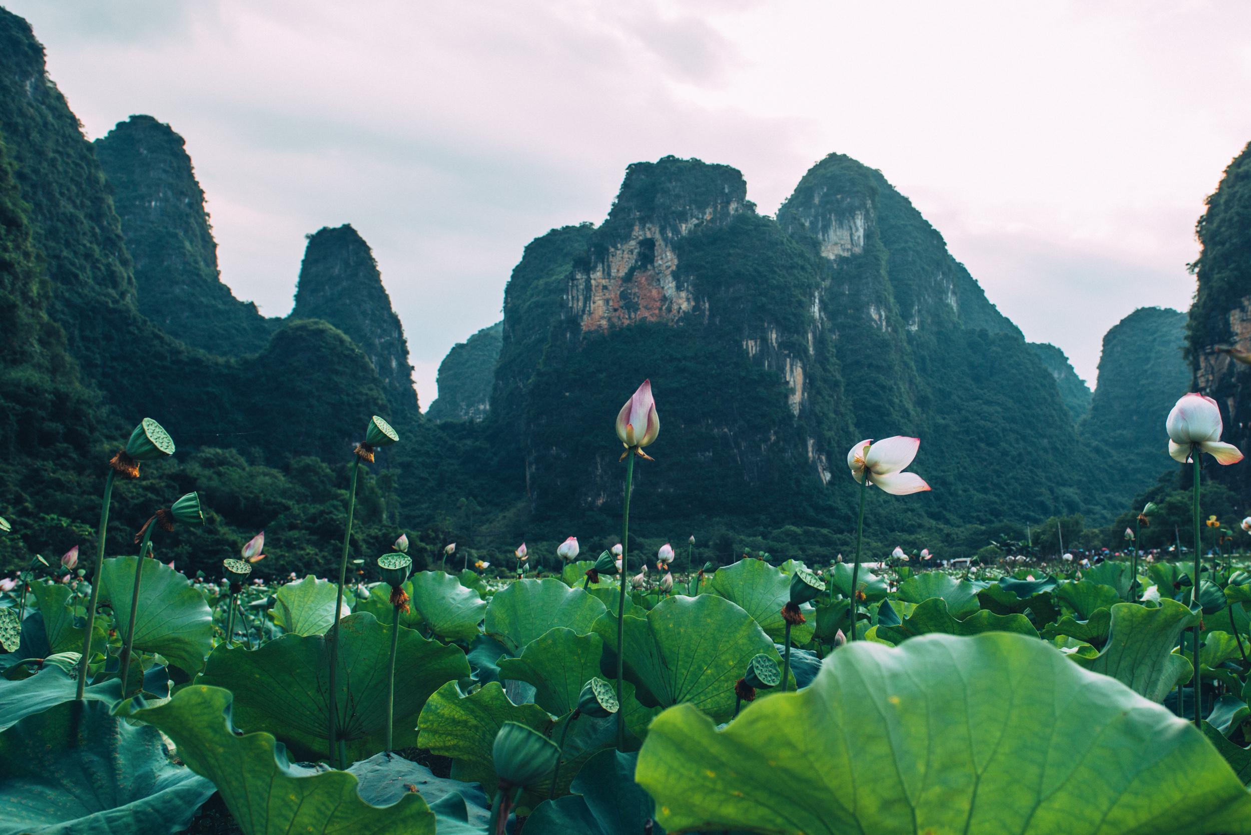 JH2573_Lotus-Flowers.jpg
