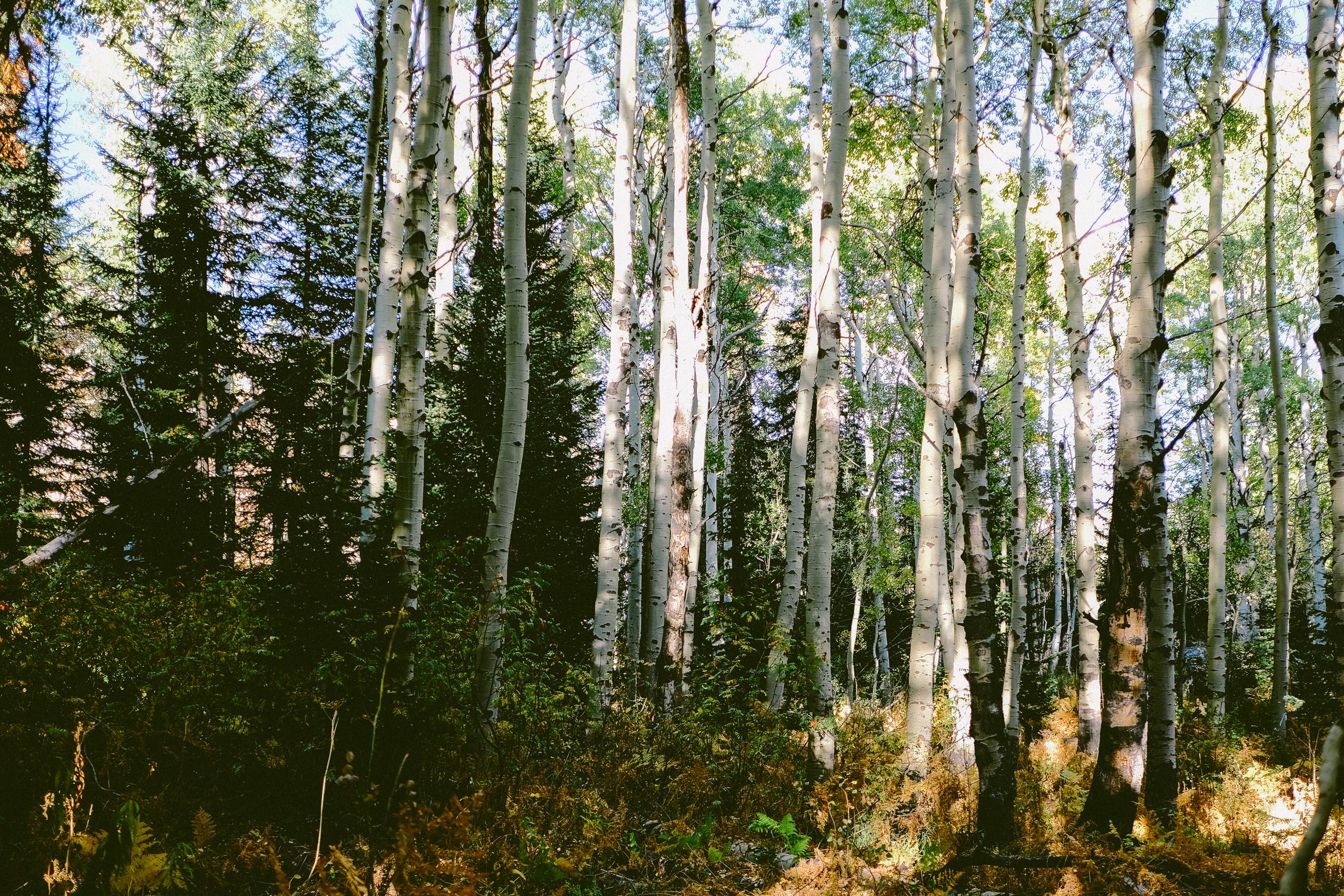EH2306_Aspen-Trees-In-Fall.jpg