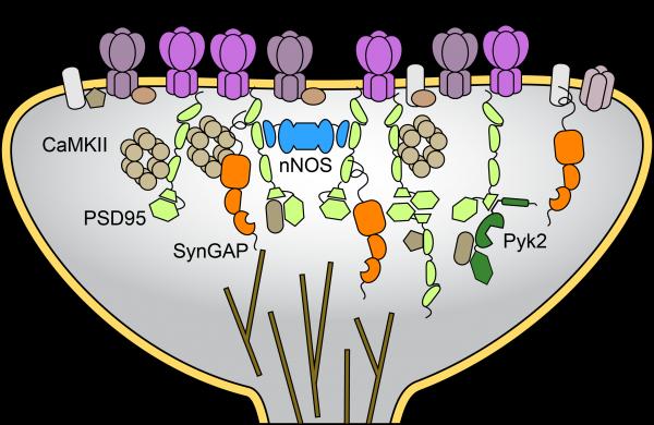 Post-synaptic density