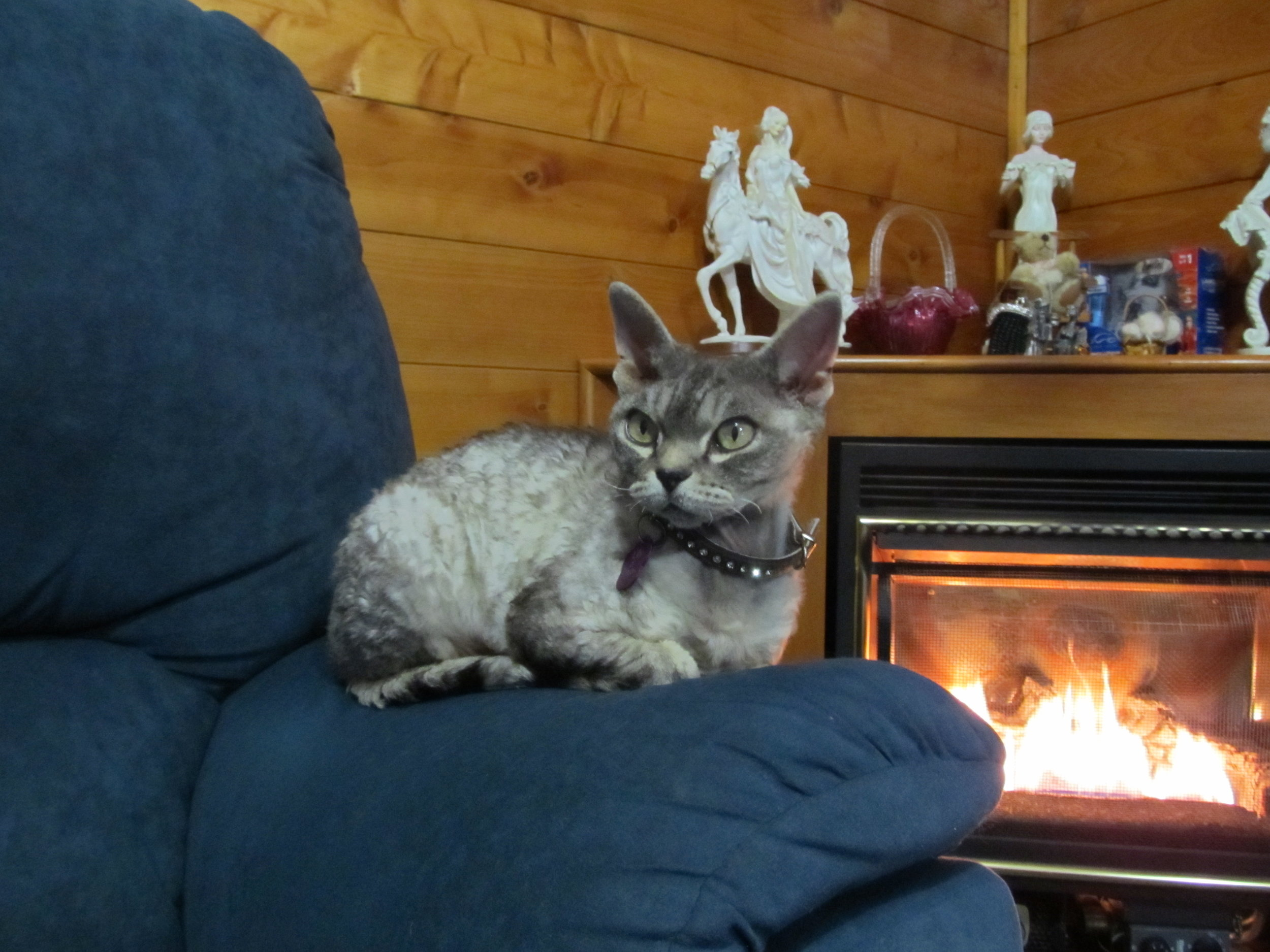 Loriendale Devons very first Devon Rex -Lily
