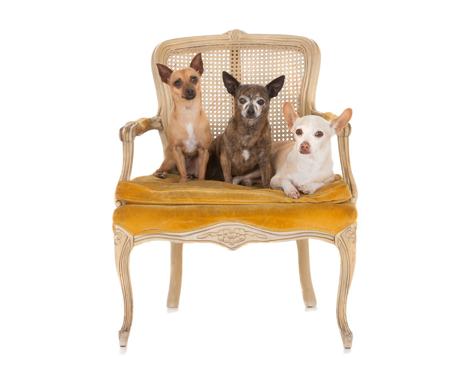 Chihuahuas in yellow chair2.jpg