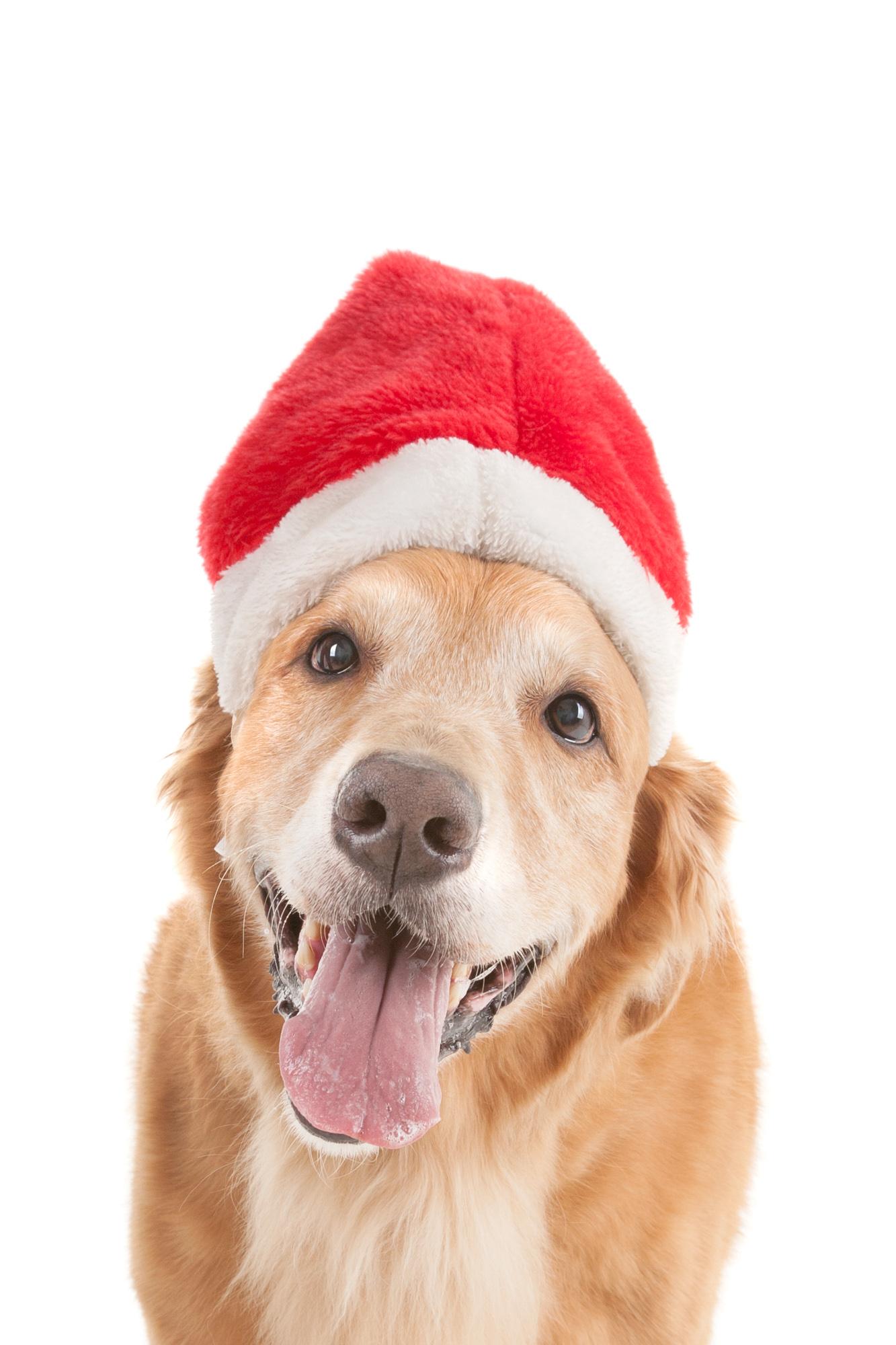 Golden+Retriever+with+Santa+hat.jpg