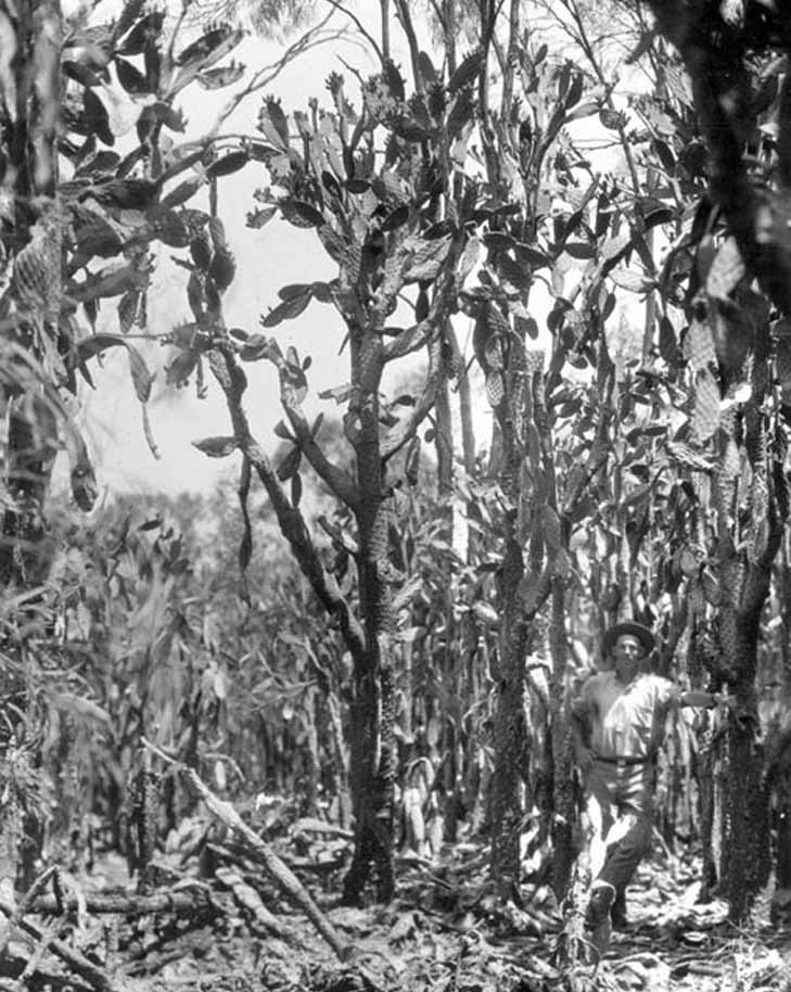 Prickly pear forest in 1930. Source: Queensland State Archives, Image ID3035
