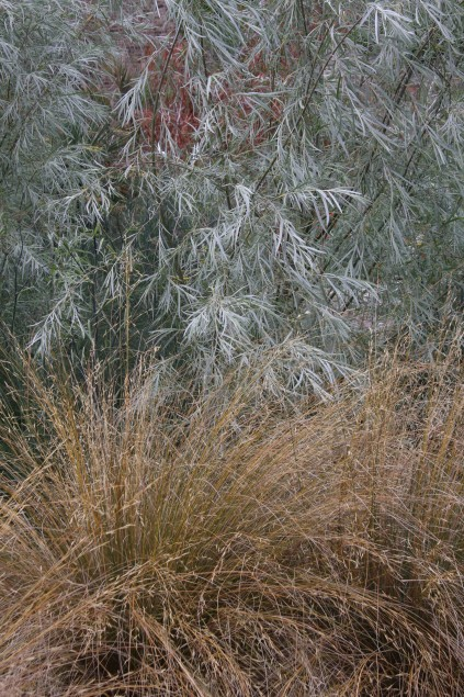 Salix exigua and Chionochloa rubra