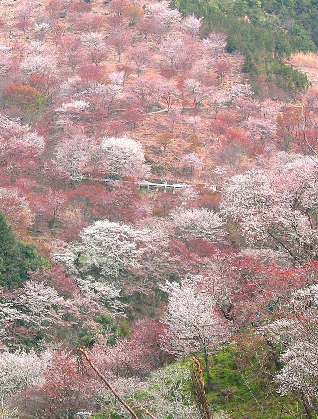 cherry blossoms on mt. yoshino