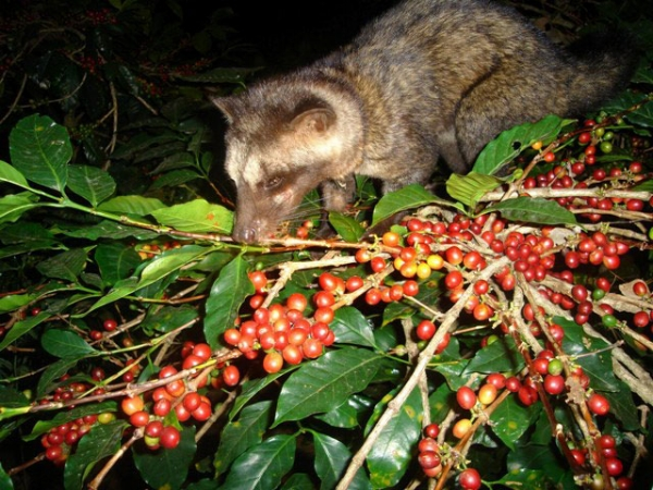 A wild palm civet photographed at night enjoying a delicious meal on our coffee farm.