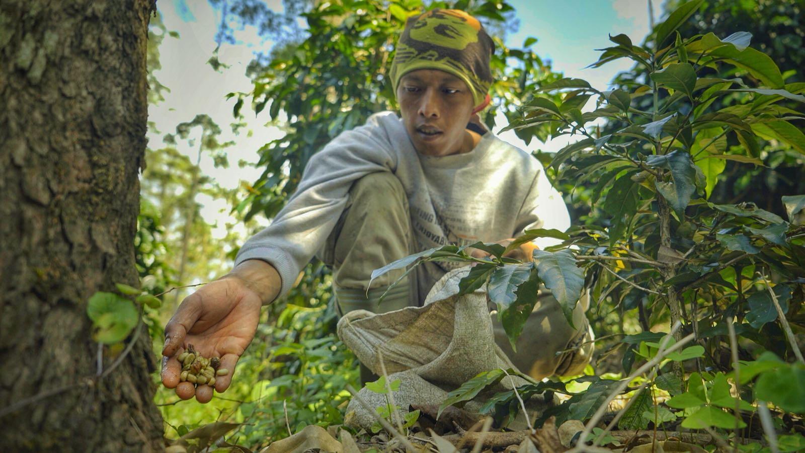 luwak hunter collecting coffee.jpeg