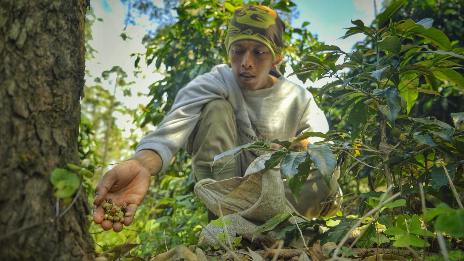 """A kopi luwak """"coffee hunter"""" searches for fresh remains from the civet cats. If the kopi luwak is not found within one day, it is less tasty and therefore we don't sell it."""