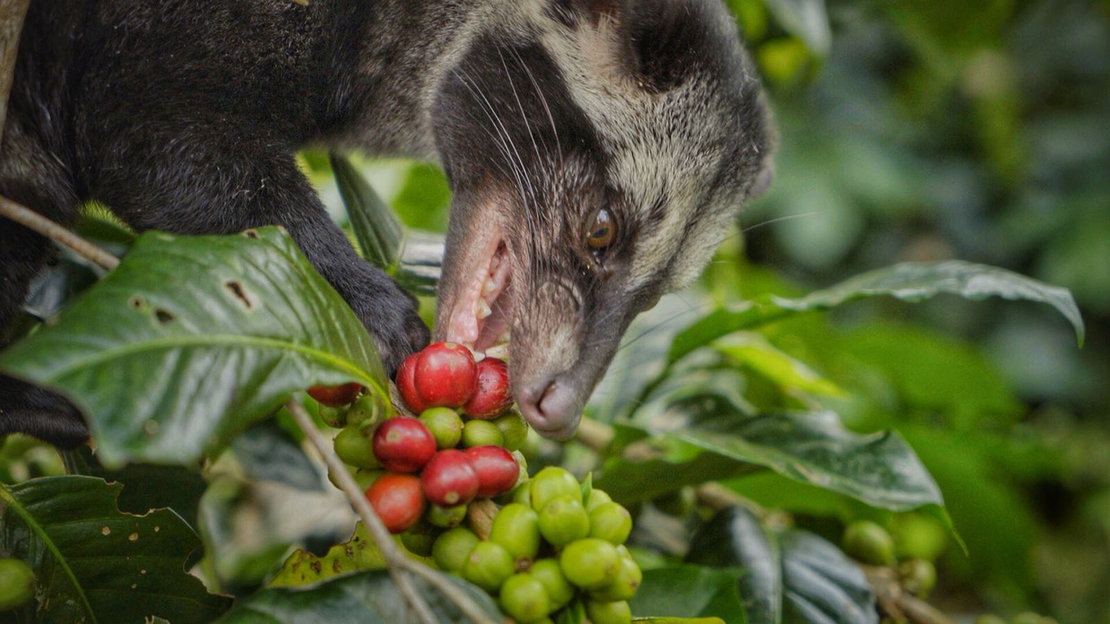 A luwak cat goes in for the ripest coffee (kopi) cherry.