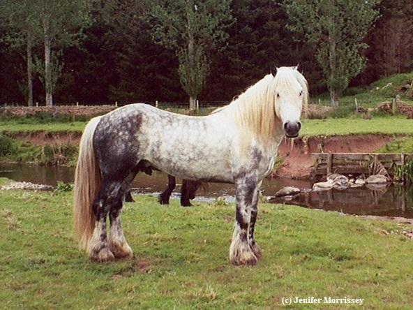 Fell Pony stallion Lunesdale Mercury
