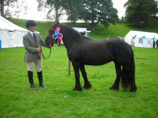 Kerbeck Night Destiny appears on the list of ponies with rare bloodlines, with Frizington Duke in her pedigree Photo courtesy Christine Robinson of the Kerbeck Fell Pony Stud, taken by Becky Sim, Dentview Fell Pony Stud