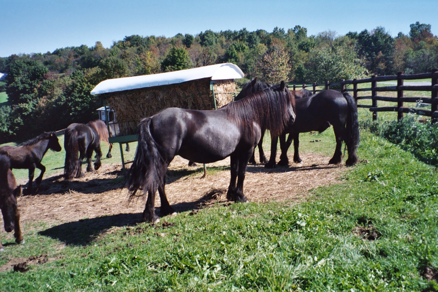 Lownthwaite Monarch, shown at five years old, represents a rare bloodline. She comes from old Linnel and Sleddale lines. She was imported by the Laurelhighland Stud in Pennsylvania