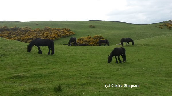 Nicola Evans' Fell Ponies perform conservation grazing at Oxenholme. Courtesy Claire Simpson