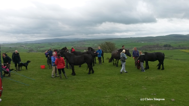 Nicola Evans' Fell Ponies at an open day courtesy Claire Simpson