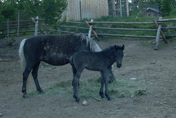 A black foal was a surprise from a silver dapple mare crossed on a black Fell Pony stallion