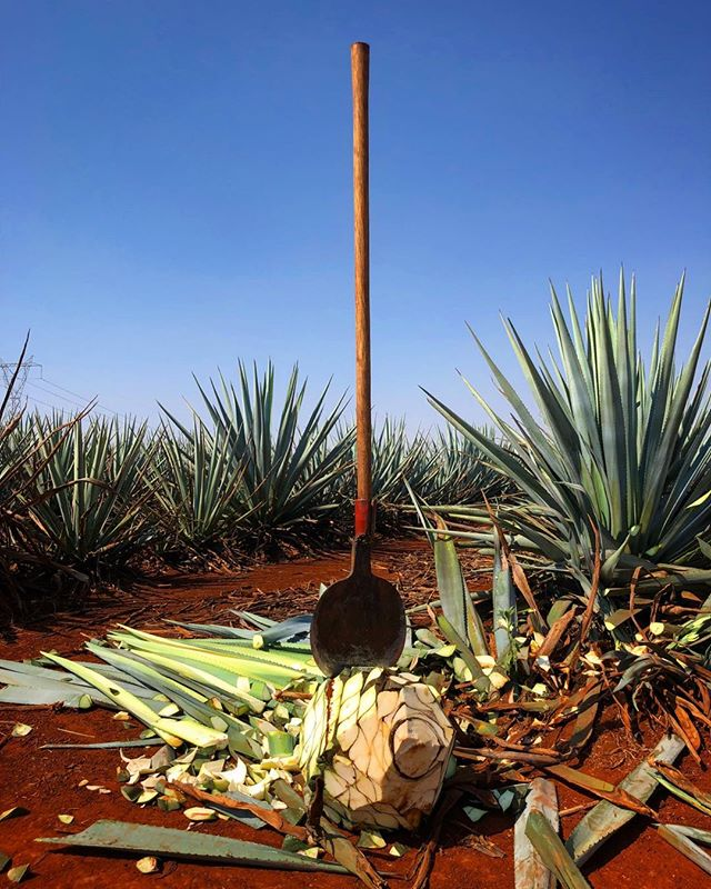 It all starts here #agave ¡Salud! Enjoy Cinco de Mayo!