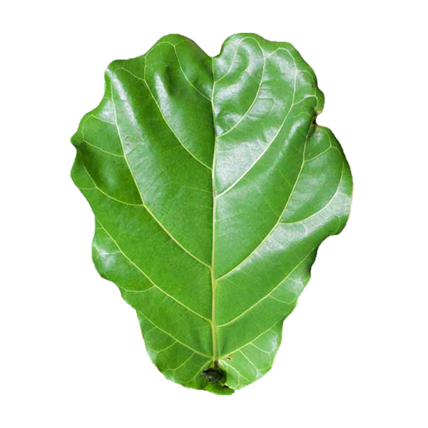 Ficus Lyrata.jpg