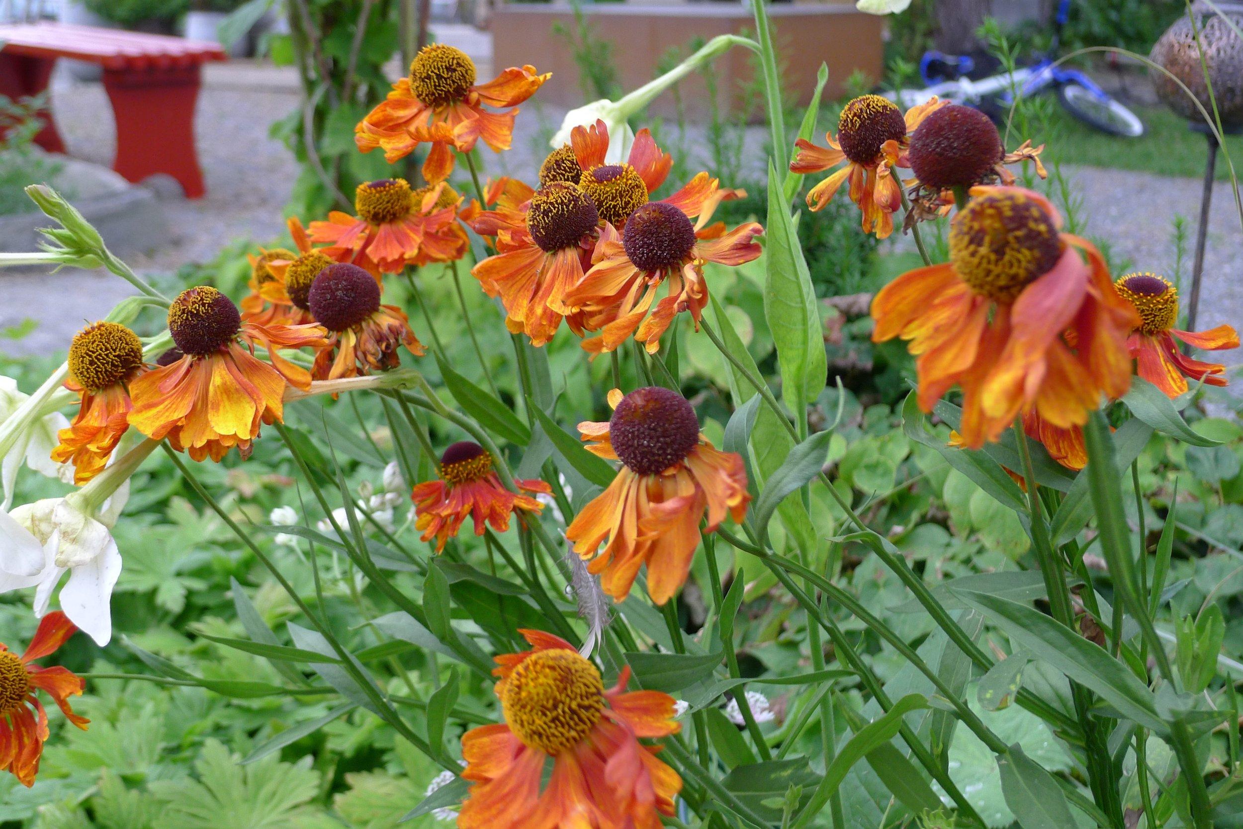 Monsås Hage - blomster
