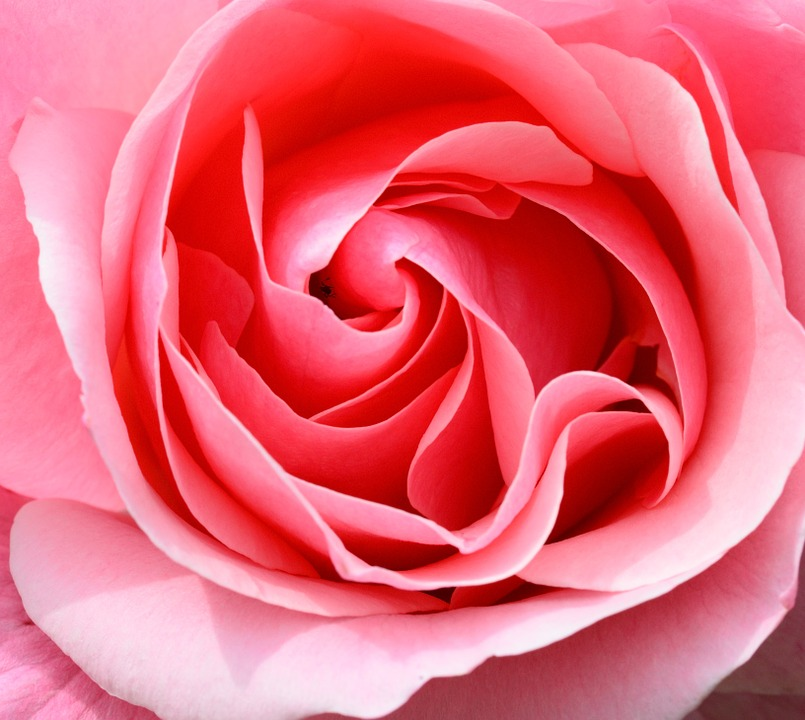 The unfolding of a rose, creating its own mandala
