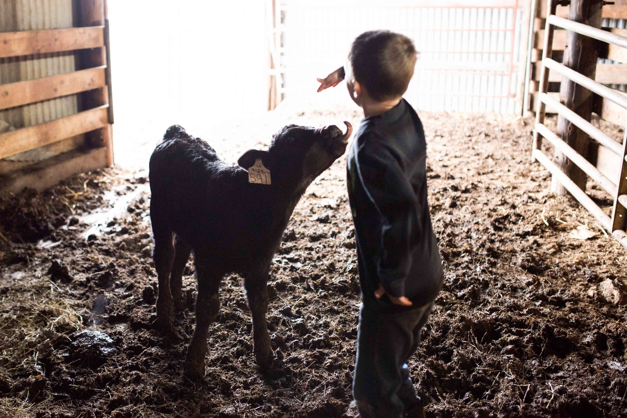 Seven-year-old Wyatt plays with a calf