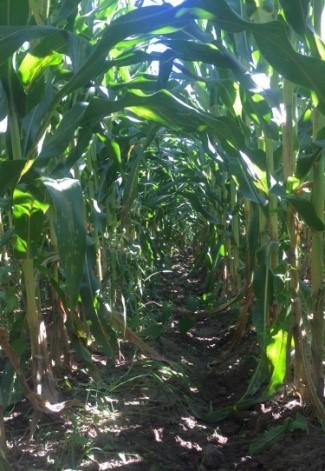 Corn Post Infusion
