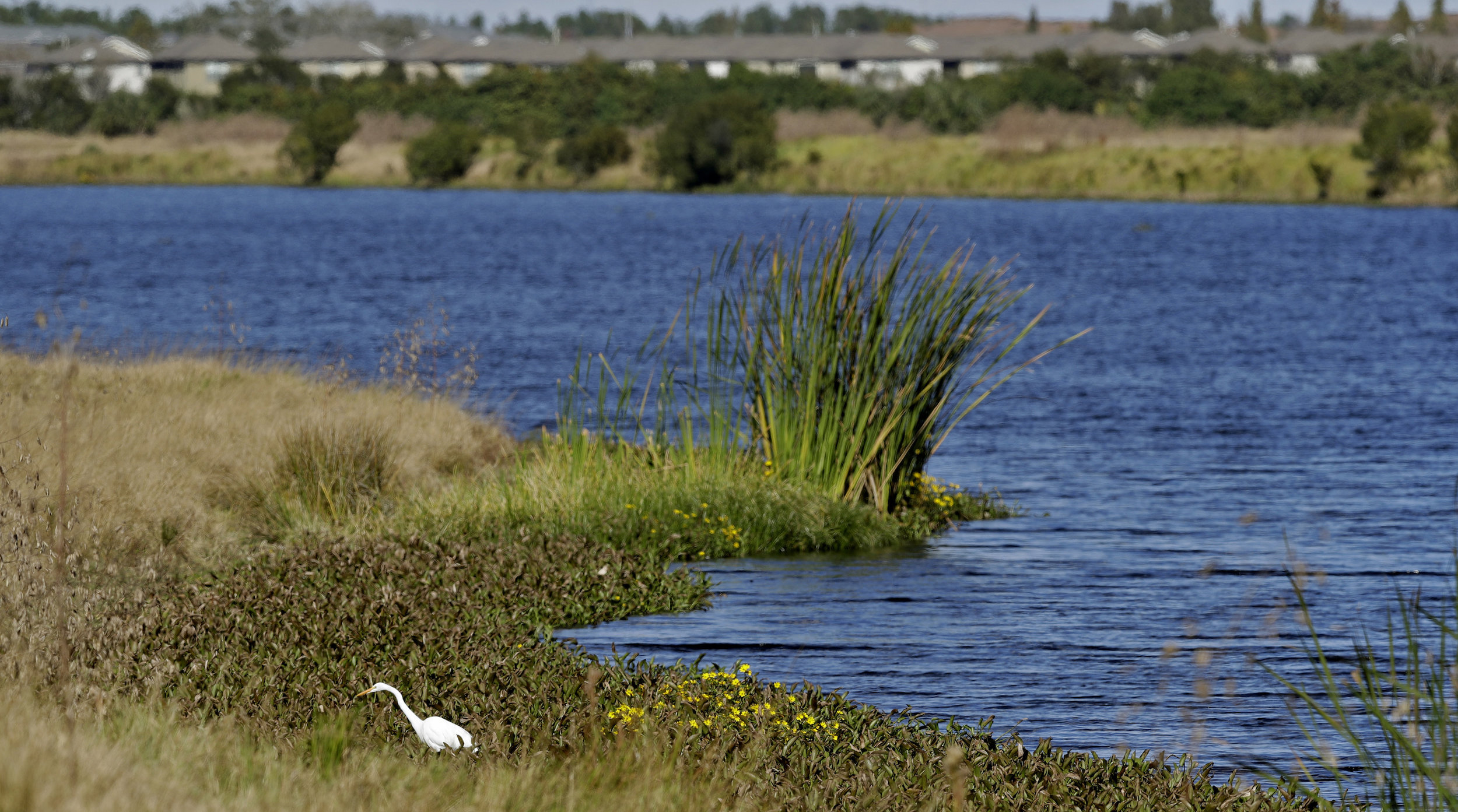 An Egret looks for food along Valhalla Pond Tuesday, Dec. 11, 2018, in Riverview, Fla. The Trump administration on Tuesday proposed withdrawing federal protections for countless waterways and wetlands across the country. (AP Photo/Chris O'Meara)