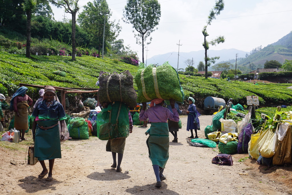 travel-india-teaplantation