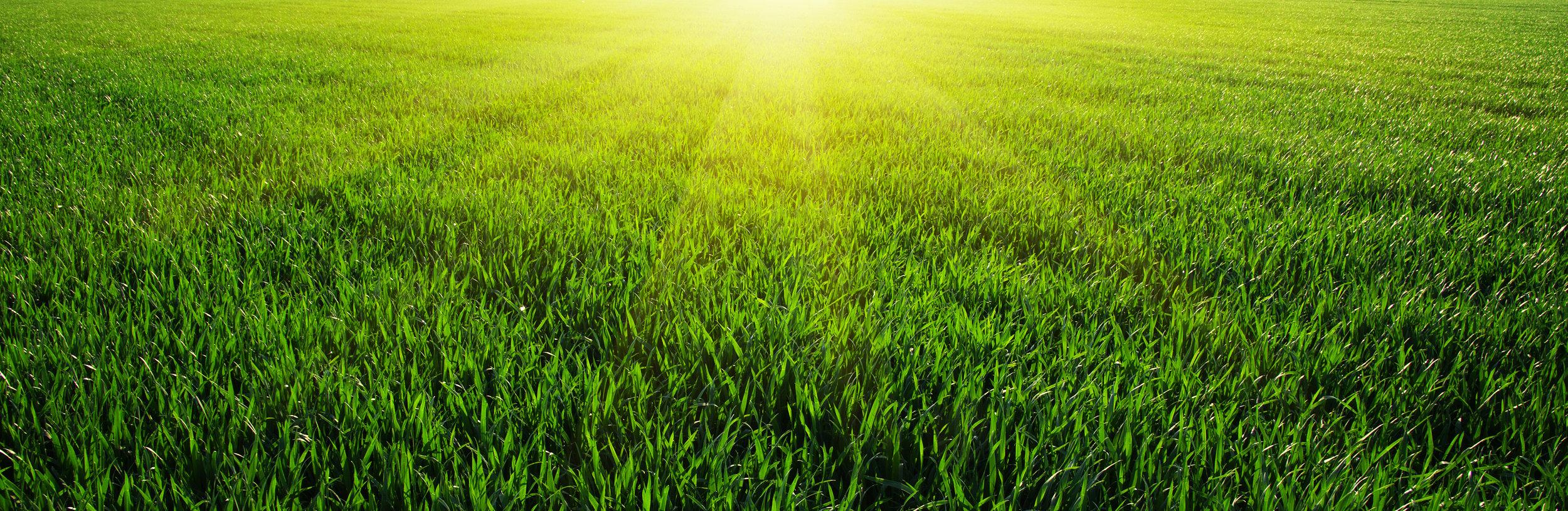 Sunny-Grass-105000105.jpg