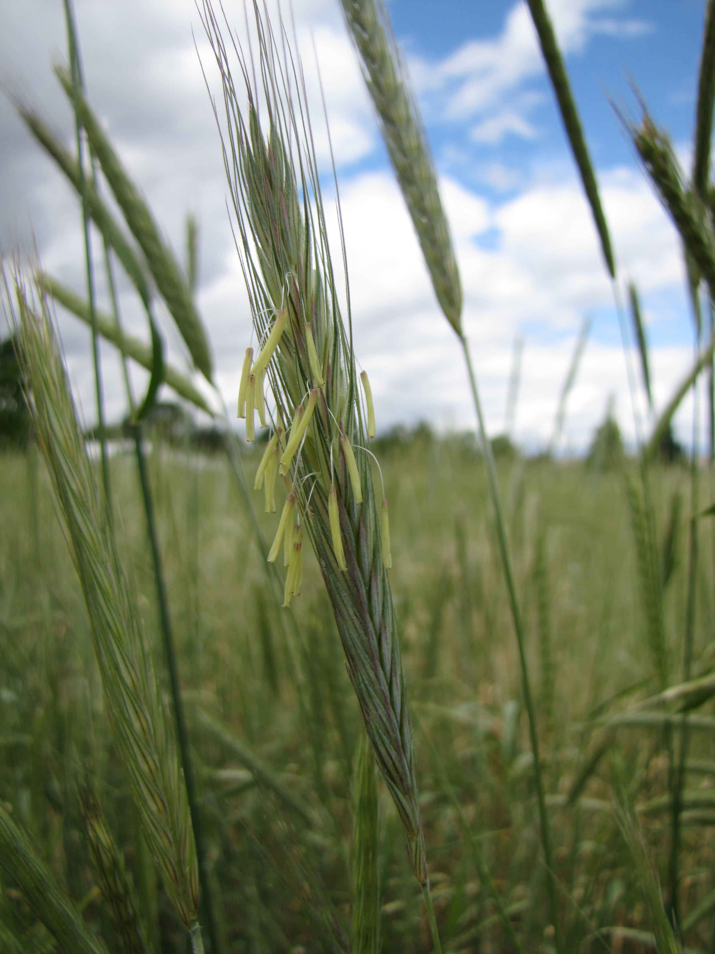 A close up of a cereal rye producting flowering parts.