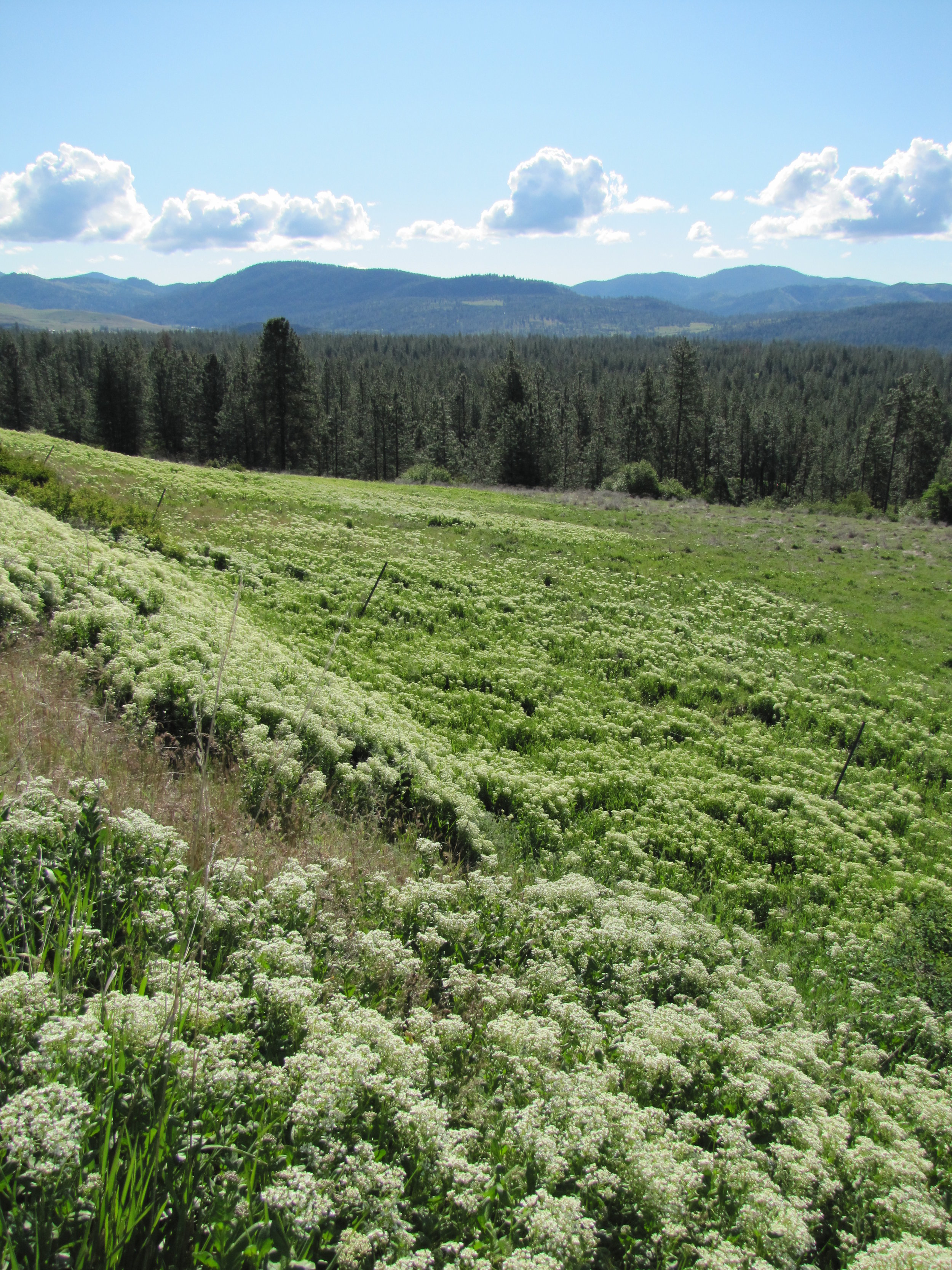White top, also known as hoary cress, is not extremely widespread on the Reservation. Most locations are located off the Silver Creek Rd. near Inchelium.