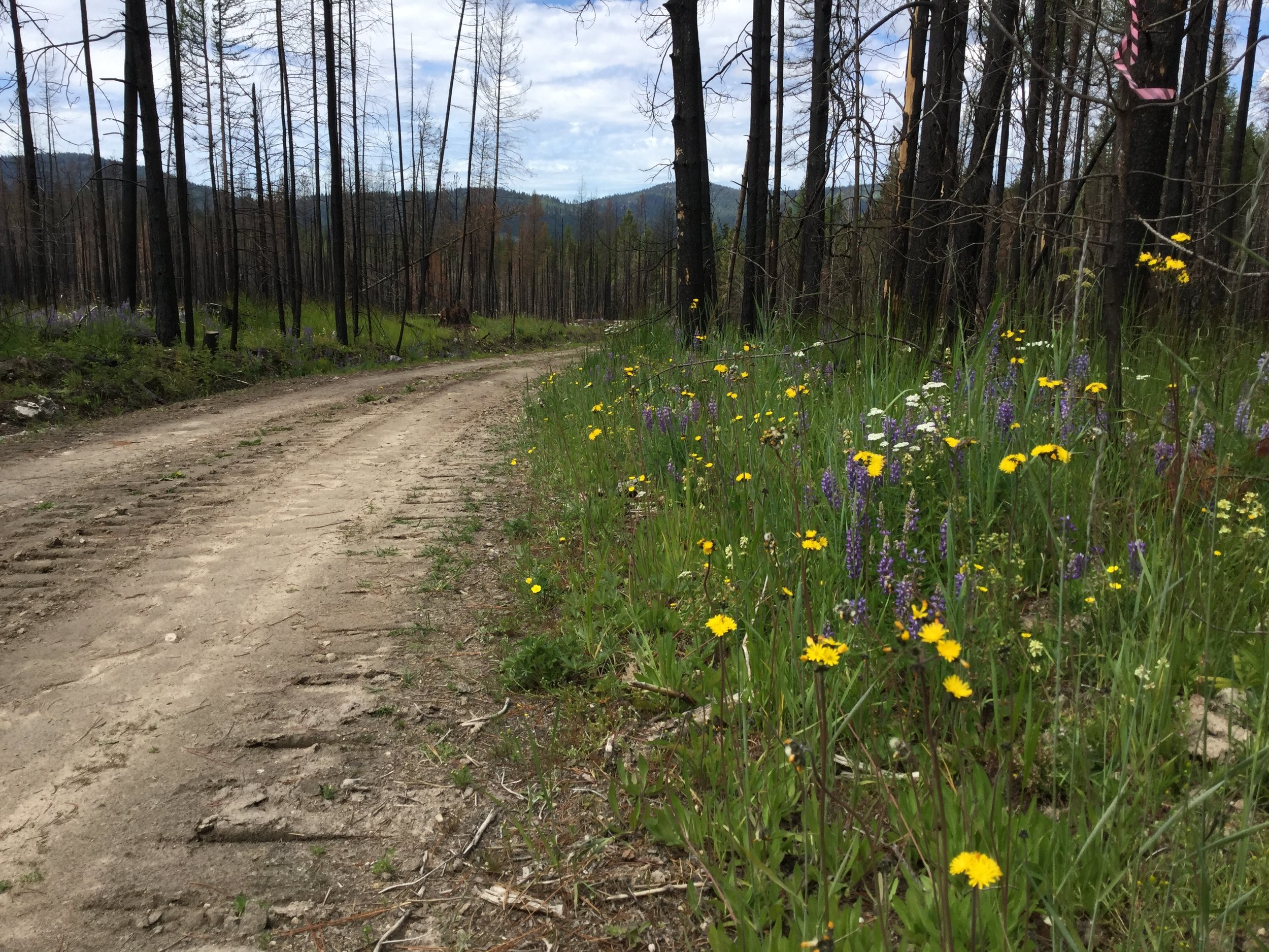 A roadside in the recent North Star fire was the perfect place for a new infestation of yellow hawkweed to emerge.