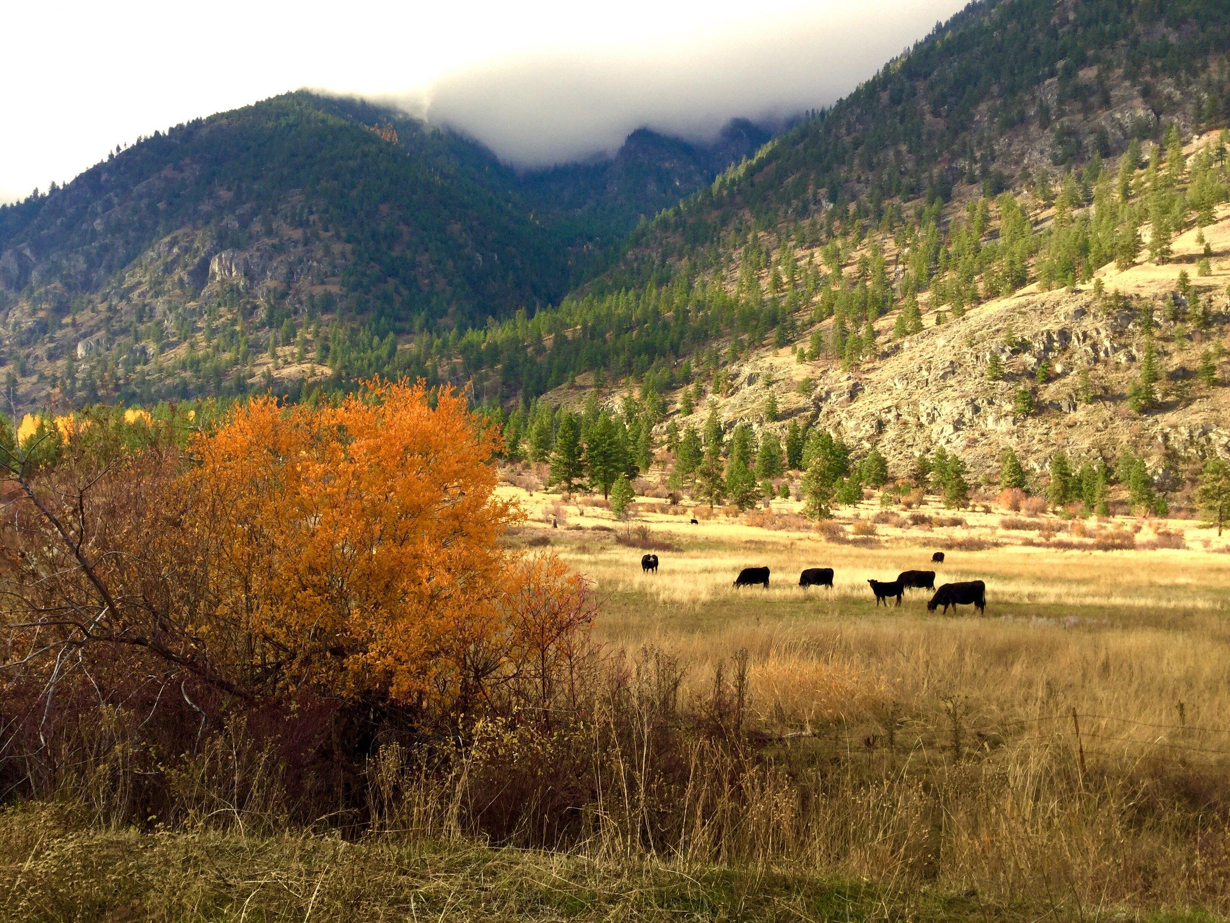 Loomis Cows.jpg