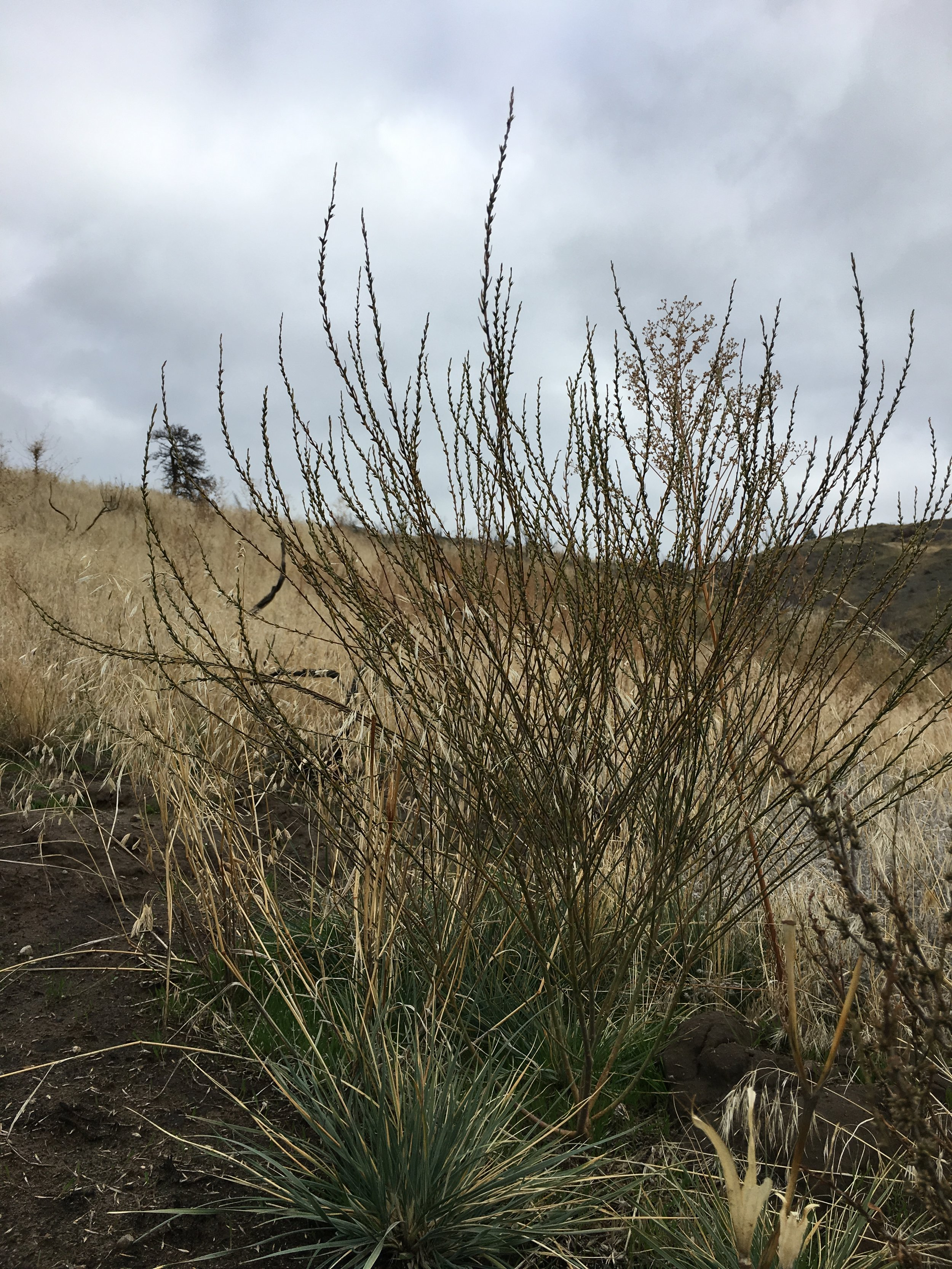 Spurge flax