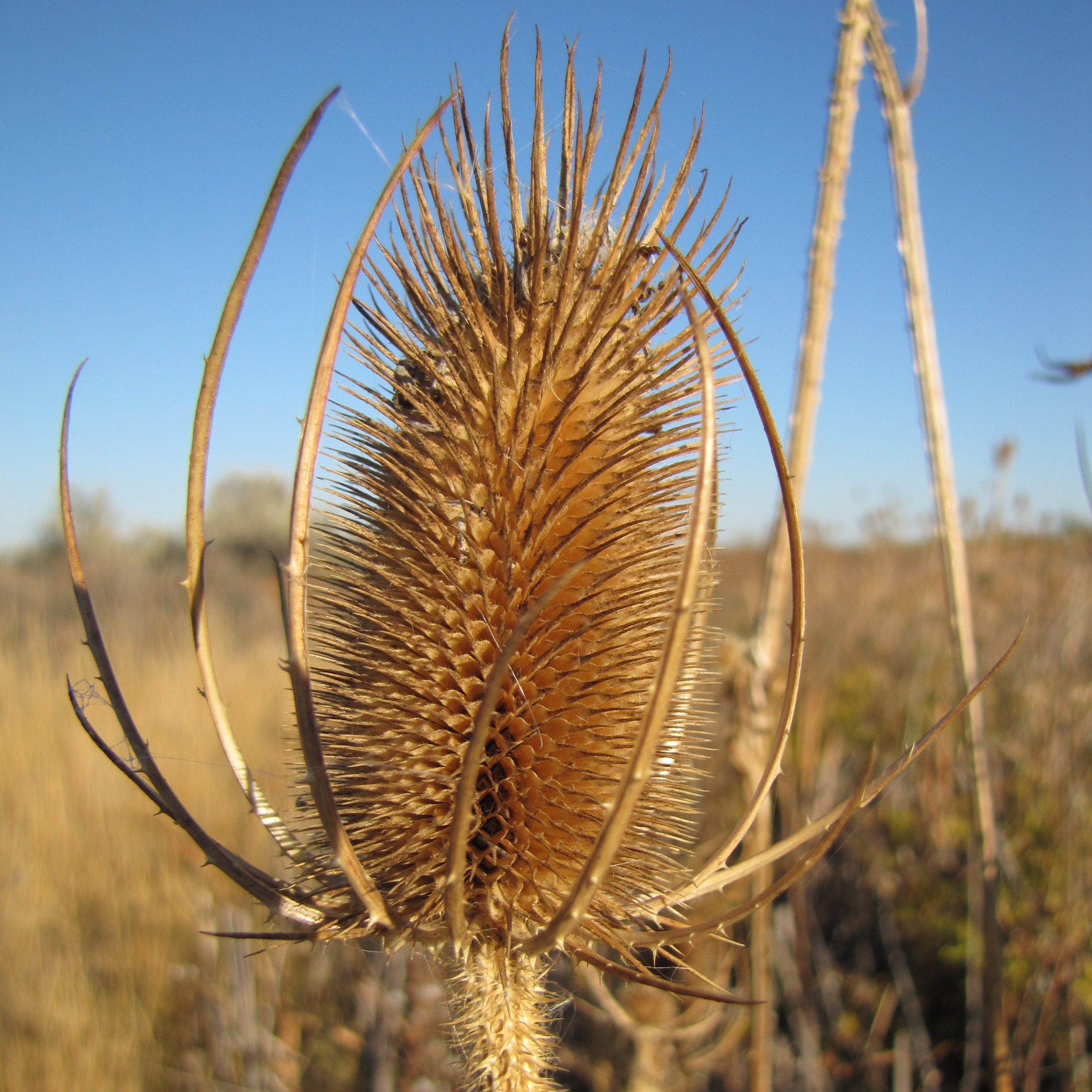 Spotted Vs. Diffuse knapweed.JPG