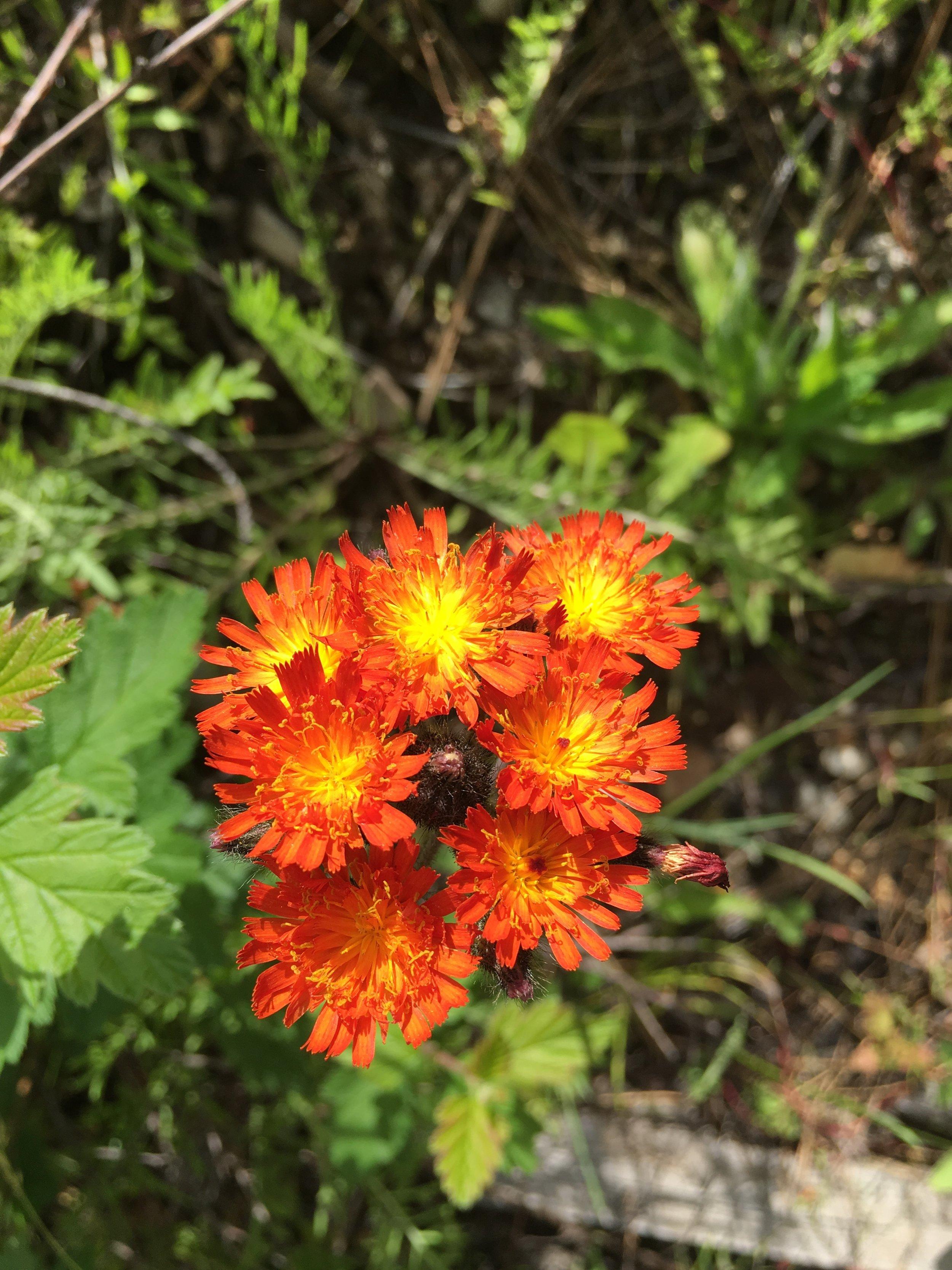 Close up of orange hawkweed flowers.