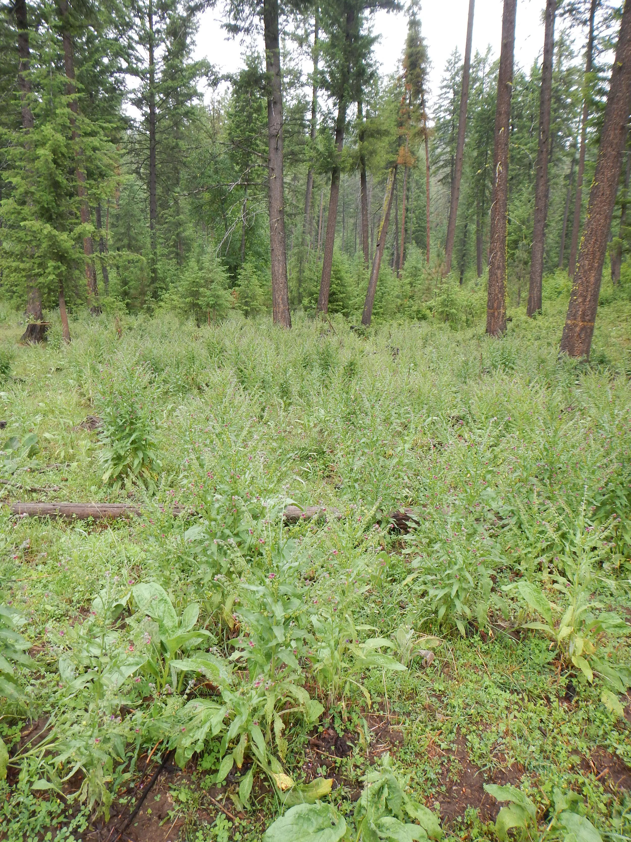 Large infestation of houndstounge