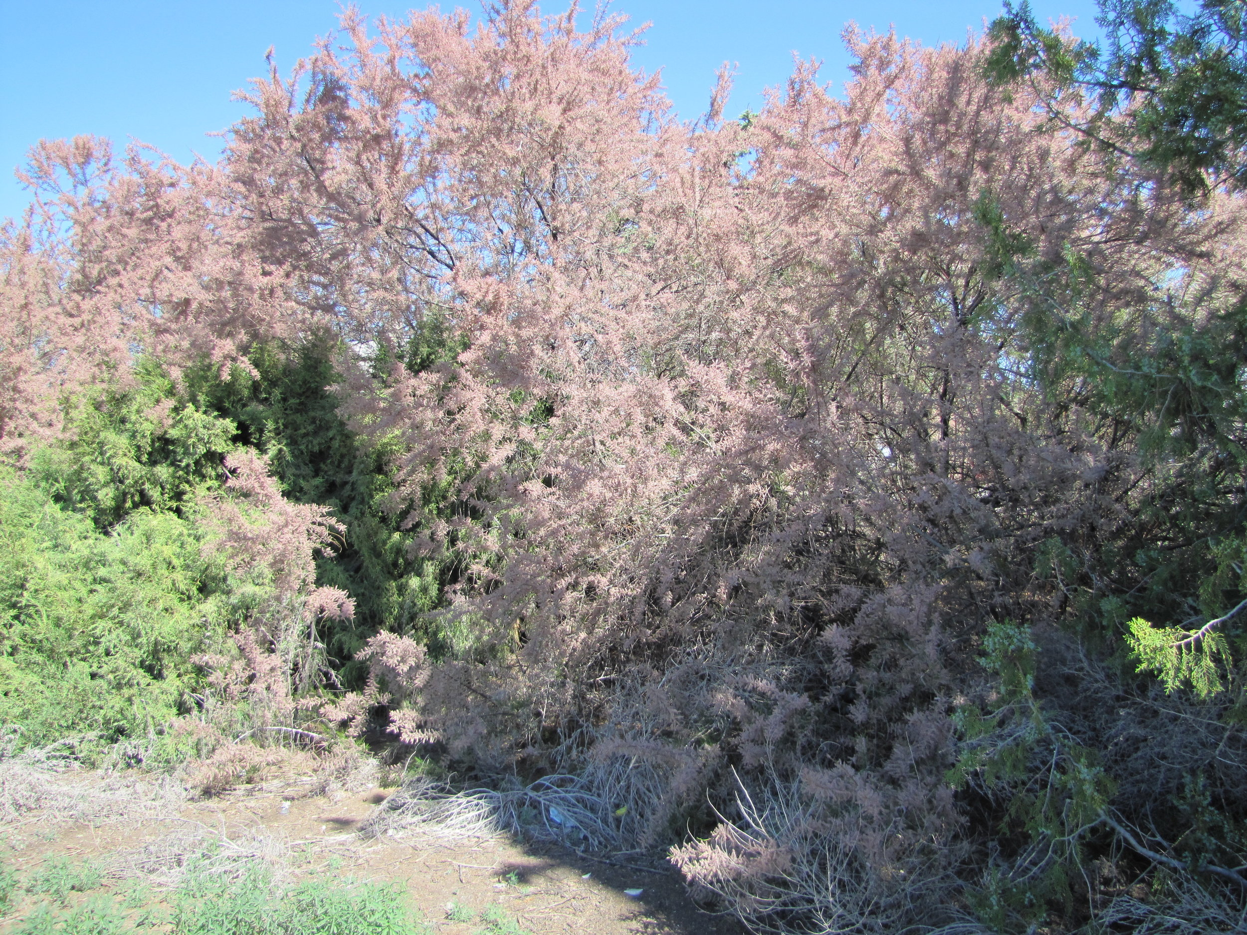 Salt cedar is normally seen growing as an ornamental, due to its brilliant pink flowers.