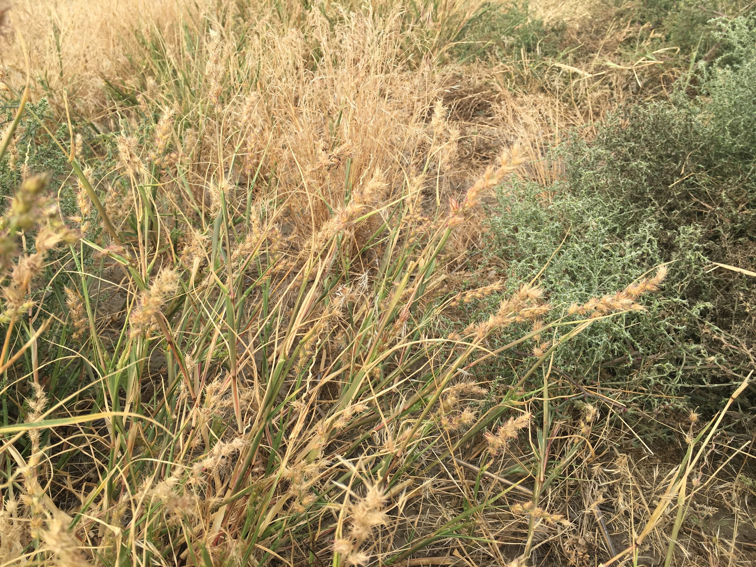 Longspine sandbur spreads by seeds that contain small hooks which latch onto clothing, tires and animal fur.