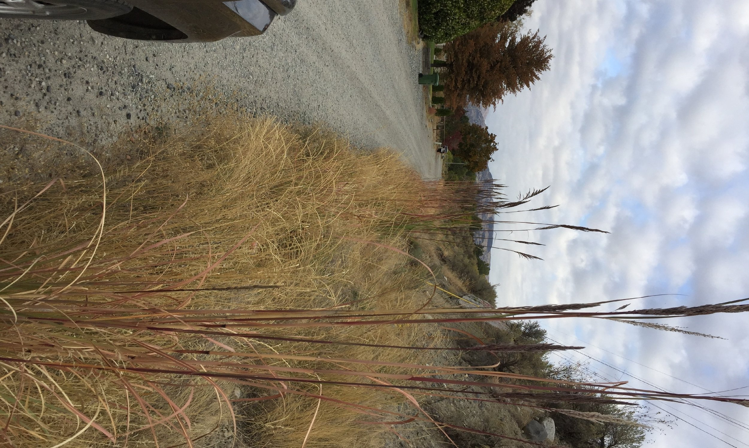 Ravenna grass is generally planted as an ornamental, but will often times escaped these ornamental plantings. The plants in this picture escaped someones yard and were found growing along a dry roadside.